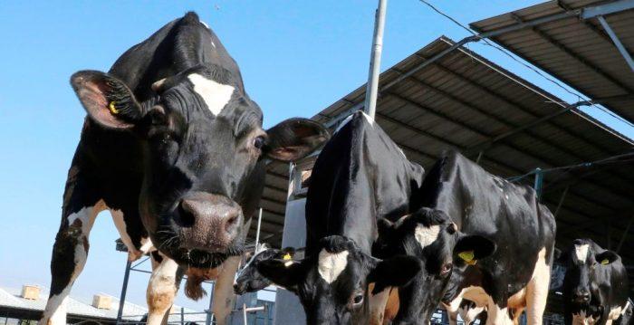 Droit civil. Amende de 8000€ en raison de l'odeur de ses vaches